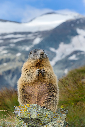 MAM 29 KH0018 01 © Kimball Stock Alpine Marmot Standing On Rock In The Alps