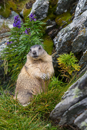 MAM 29 KH0019 01 © Kimball Stock Alpine Marmot Posing By Flowers And Rocks In The Alps
