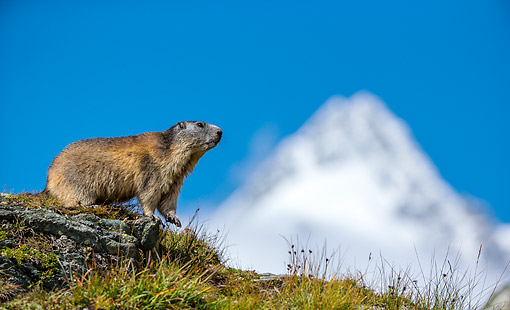 MAM 29 KH0020 01 © Kimball Stock Alpine Marmot Standing On Rock In The Alps