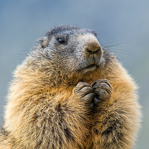MAM 29 KH0023 01 © Kimball Stock Alpine Marmot Portrait In The Alps