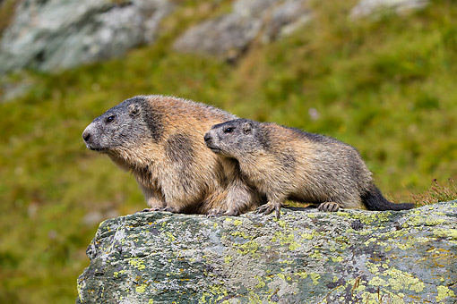 MAM 29 KH0025 01 © Kimball Stock Adult And Young Marmot Standing On Rock In The Alps