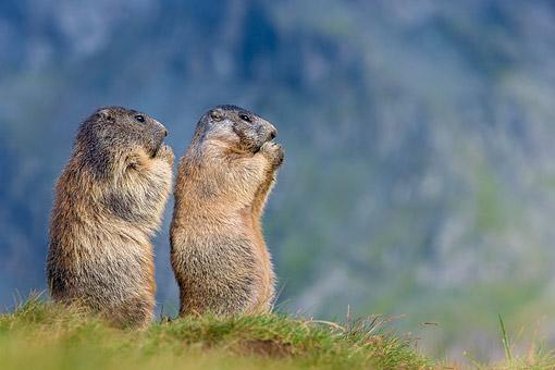 french - Animal Stock Photos - Kimballstock
