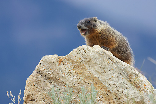 MAM 29 WF0001 01 © Kimball Stock Yellow-Bellied Marmot Standing On Rock Calling In Warning To Others