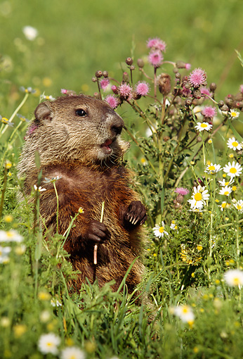 MAM 29 LS0001 01 © Kimball Stock Woodchuck Standing In Meadow Of Lavander And White Flowers
