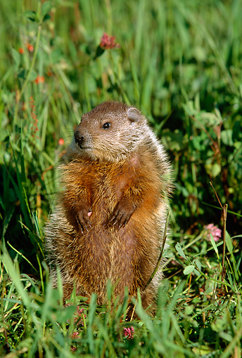 MAM 29 LS0002 01 © Kimball Stock Woodchuck Standing In Meadow