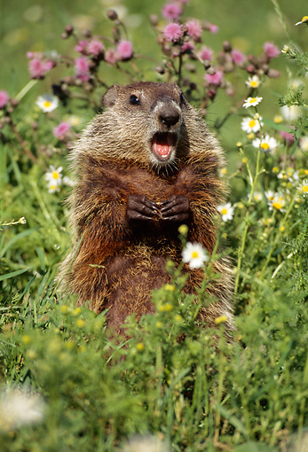 MAM 29 TL0005 01 © Kimball Stock Woodchuck Whistling In Meadow Of Lavander And White Flowers