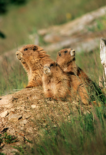 MAM 29 TL0010 01 © Kimball Stock Three Olympic Marmots Standing On Dirt Mound On Hillside