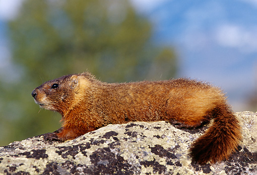 MAM 29 TL0012 01 © Kimball Stock Profile Of Yellow-bellied Marmot Laying On Rock