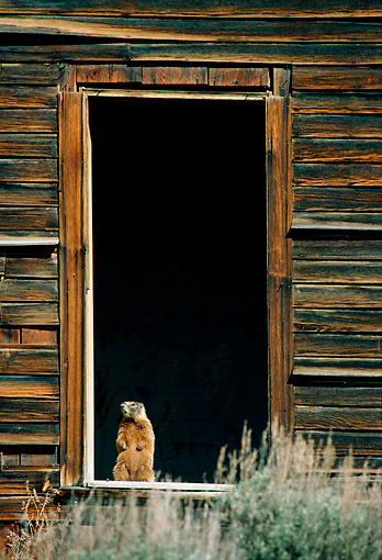 MAM 29 TL0013 01 © Kimball Stock Yellow-bellied Marmot Standing In Open Doorway Of Cabin