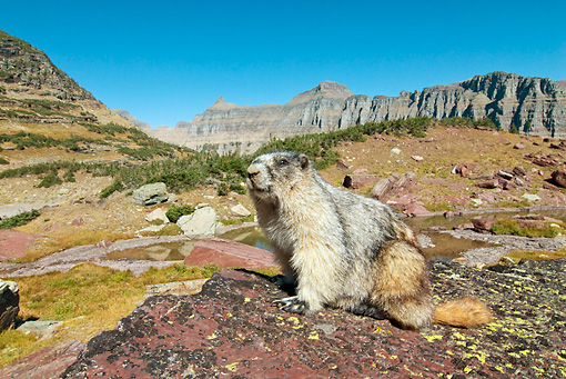 MAM 29 TL0014 01 © Kimball Stock Hoary Marmot Sitting On Rock By Mountains Blue Sky Montana