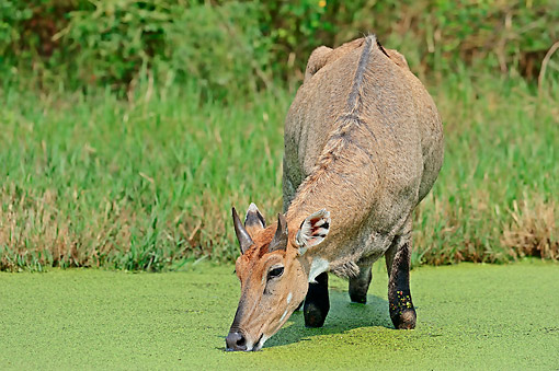 MAM 33 AC0001 01 © Kimball Stock Nilgai Male Drinking Water In Keoladeo Ghana National Park, Rajasthan, India