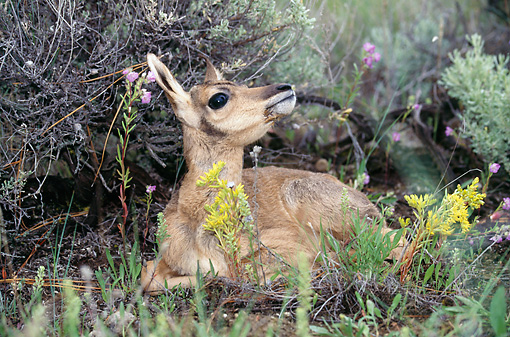 MAM 33 BA0001 01 © Kimball Stock Pronghorn Antelope Fawn Laying In Twigs By Yellow And Pink Flowers