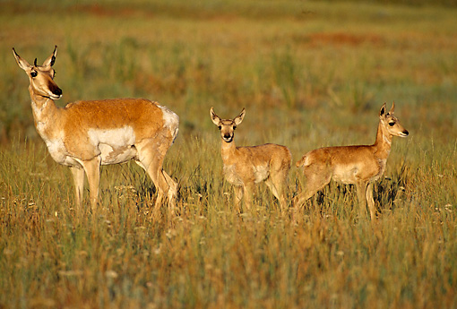 MAM 33 TL0005 01 © Kimball Stock Pronghorn Antelope Doe And Fawn On Pasture