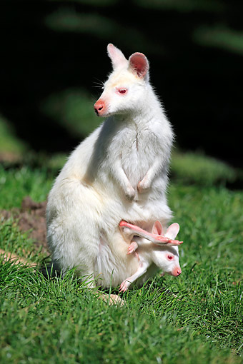 MAM 35 AC0006 01 © Kimball Stock Red-Necked (Bennett) Wallaby Albino Adult With Young In Pouch, Australia