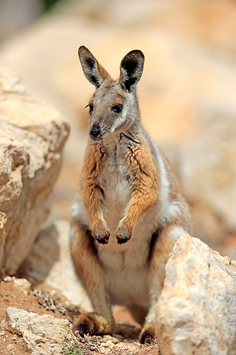 MAM 35 AC0007 01 © Kimball Stock Yellow-Footed Rock Wallaby (Ring-Tailed Wallaby) Standing In Australia