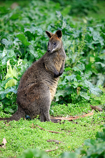 MAM 35 AC0008 01 © Kimball Stock Swamp Wallaby Standing In Greenery In Victoria, Australia
