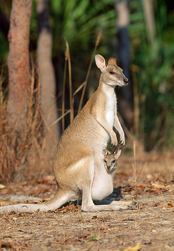 MAM 35 MH0001 01 © Kimball Stock Agile Wallaby Mother With Joey In Pouch