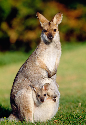 MAM 35 MH0003 01 © Kimball Stock Red-Necked Wallaby Standing On Grass With Joey In Pouch