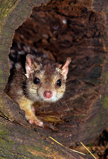 MAM 36 KH0002 01 © Kimball Stock Northern Quoll Peeking Out Of Hollow Log