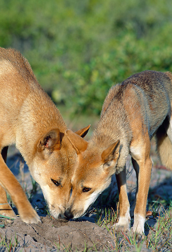 MAM 37 MH0001 01 © Kimball Stock Close-Up Of Two Dingos Sniffing For Food