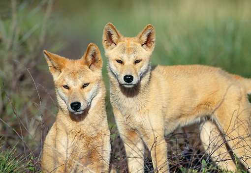 MAM 37 MH0002 01 © Kimball Stock Close-Up Of Two Dingos In Outback