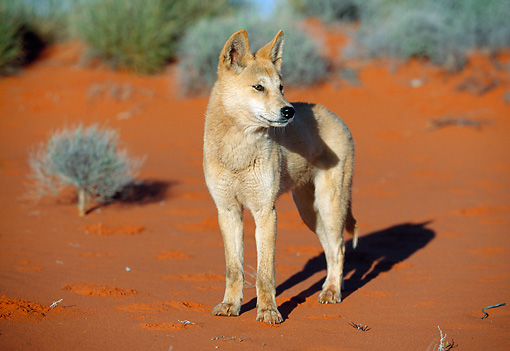 MAM 37 MH0003 01 © Kimball Stock Dingo Standing On Red Dirt In Outback