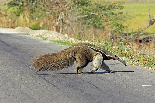 MAM 38 GL0001 01 © Kimball Stock Giant Anteater Crossing Road In Los Lianos, Venezuela