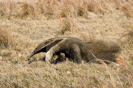 MAM 38 GL0002 01 © Kimball Stock Giant Anteater Walking Through Pampa In Los Lianos, Venezuela