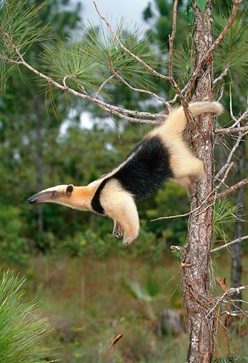 Southern Tamandua Hanging Off Tree By Tail Brazil Kimballstock