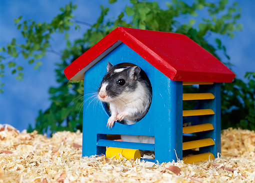 MAM 39 KH0001 01 © Kimball Stock Mongolian Gerbil Peeking Out Of Blue House