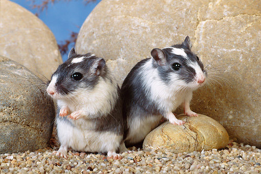 MAM 39 KH0002 01 © Kimball Stock Mongolian Gerbils Sitting By Rocks