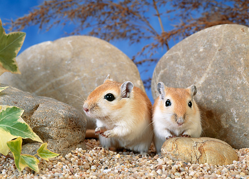 MAM 39 KH0003 01 © Kimball Stock Mongolian Gerbils Sitting By Rocks