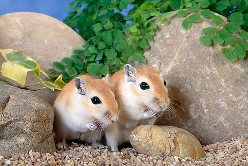 MAM 39 KH0004 01 © Kimball Stock Mongolian Gerbils Sitting By Rocks
