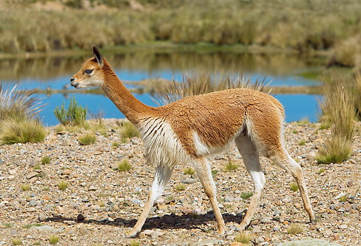 MAM 40 JE0002 01 © Kimball Stock Vicuna Walking In Field By Lake South America