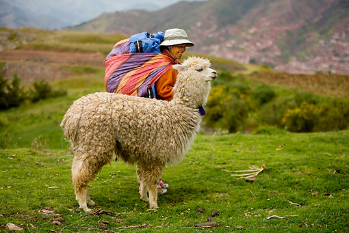 MAM 41 JE0001 01 © Kimball Stock Peruvian Woman With Alpaca Standing In Field