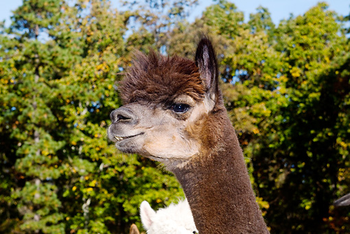 MAM 41 LS0001 01 © Kimball Stock Head Shot Of Alpaca Against Autumn Tree