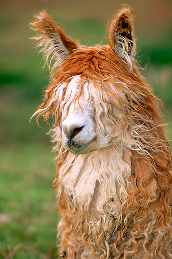 MAM 41 WF0001 01 © Kimball Stock Head Shot Of Alpaca Standing In Field South America