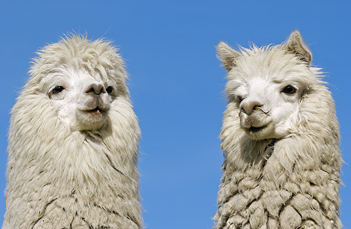 MAM 41 WF0002 01 © Kimball Stock Head Shot Of Two Alpaca Against Blue Sky