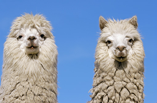 MAM 41 WF0003 01 © Kimball Stock Head Shot Of Two Alpaca Against Blue Sky