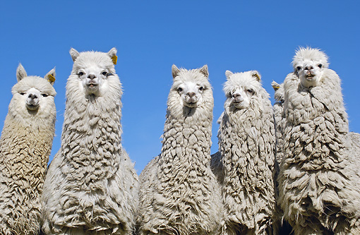MAM 41 WF0004 01 © Kimball Stock Close-Up Of Group Of Alpaca Against Blue Sky