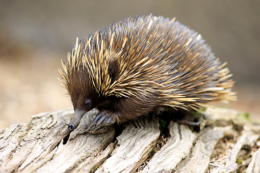 MAM 44 AC0001 01 © Kimball Stock Short-Beaked Echidna Searching For Food In Log, Australia