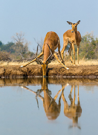 AFW 02 KH0008 01 © Kimball Stock Female Impalas Drinking At Waterhole In Botswana