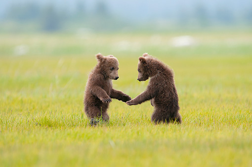 BEA 02 NE0001 01 © Kimball Stock Two Alaskan Brown Bear Cubs Standing On Hind Legs In Grass Alaska