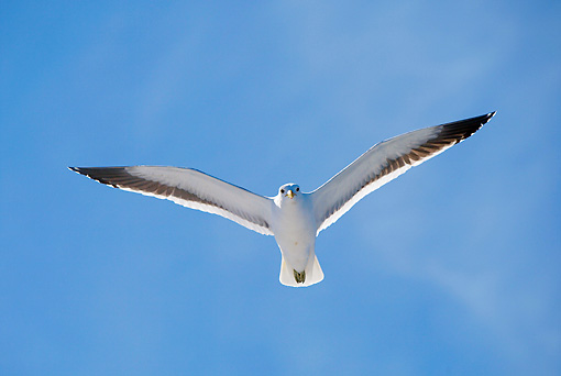 BRD 04 AC0005 02 © Kimball Stock Southern Black-Backed Gull In Flight South Africa