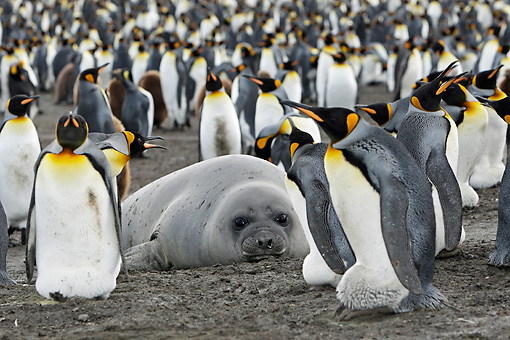 BRD 05 WF0072 01 © Kimball Stock Elephant Seal Laying On Beach Surrounded By Colony Of King Penguins