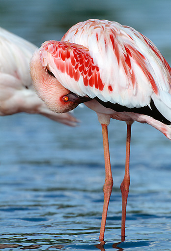 BRD 11 MH0022 01 © Kimball Stock Portrait Of Lesser Flamingo Standing In Water Preening Feathers