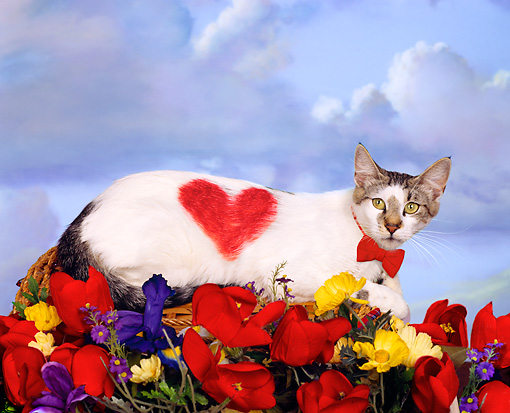CAT 02 RK1458 01 © Kimball Stock White Tabby Cat Wearing Bow Tie With Heart On Side Laying In Basket With Flowers