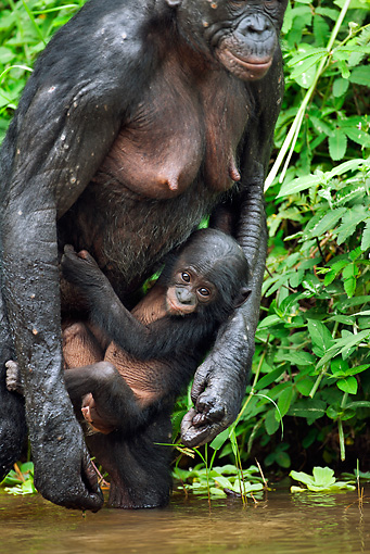 CHI 02 MH0013 01 © Kimball Stock Bonobo Chimpanzee  Baby Clinging To Mother In Rainforest