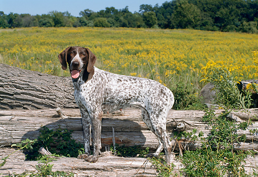 DOG 06 FA0026 01 © Kimball Stock German Shorthaired Pointer Standing On Log By Grass Field