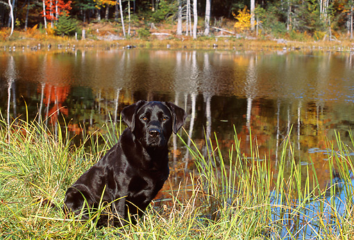 DOG 18 LS0027 01 © Kimball Stock Black Labrador Retriever Sitting In Grass At Edge Of Lake
